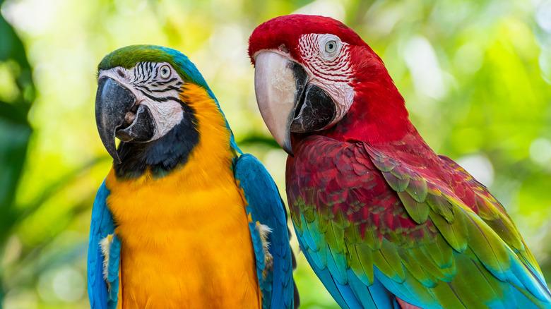 Papegøyer som sitter sammen